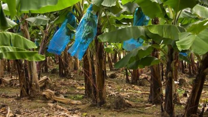 Les ouvriers agricoles demandent toujours la reconnaissance de leur empoisonnement au chlordécone et aux autres pesticides