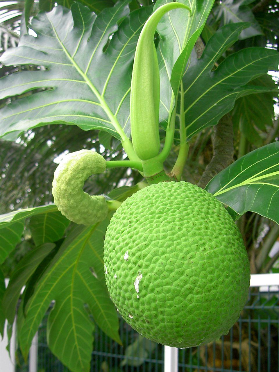 Vers la création d'une filière du fruit à pain en Guadeloupe ?