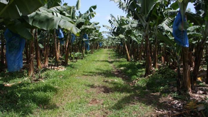 Un décret rend possible l'indemnisation des travailleurs agricoles empoisonnés par le chlordécone