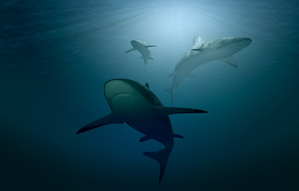 Saint-Kitts-et-Nevis : une attaque de requin blesse grièvement une nageuse