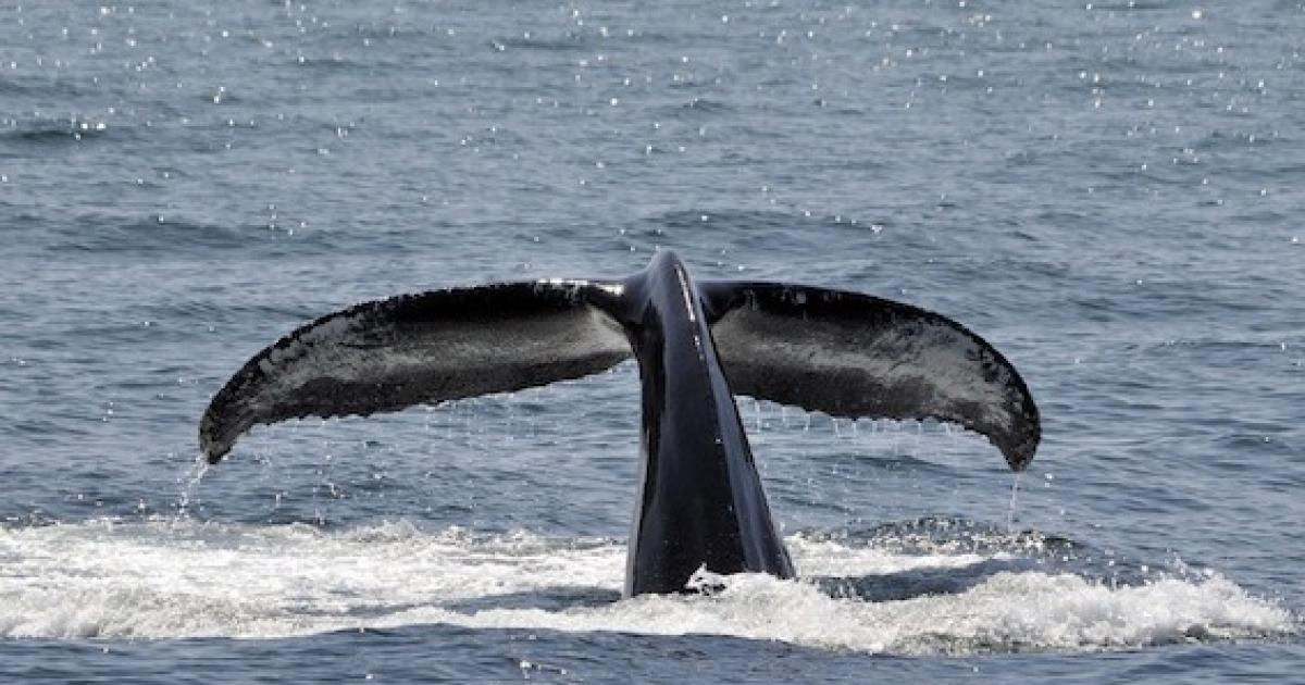 La journée internationale de la baleine, c'est aujourd'hui