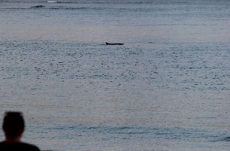 Pépin, le cachalot nain, continue de se promener dans la baie de Trinité