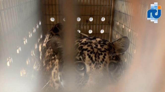 """Un jaguar prénommé """"Keeza"""" est arrivé au zoo des Mamelles"""