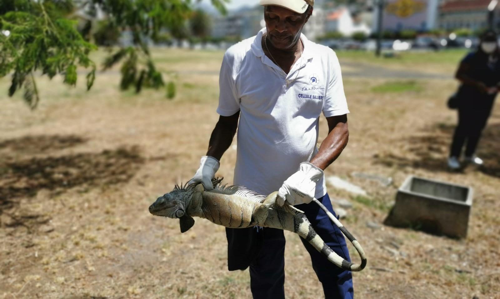La ville de Fort-de-France capture des iguanes communs pour lutter contre leur prolifération