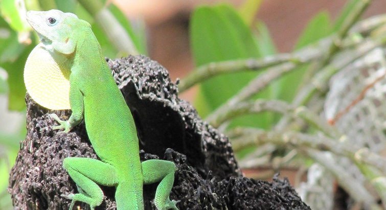 La colonisation aurait décimé les reptiles de Guadeloupe selon une étude