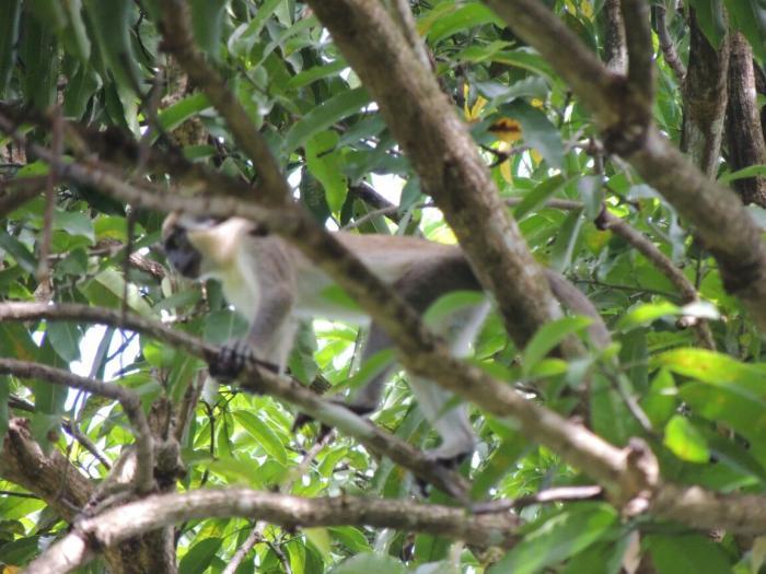 Les singes verts sont-ils toujours là ?