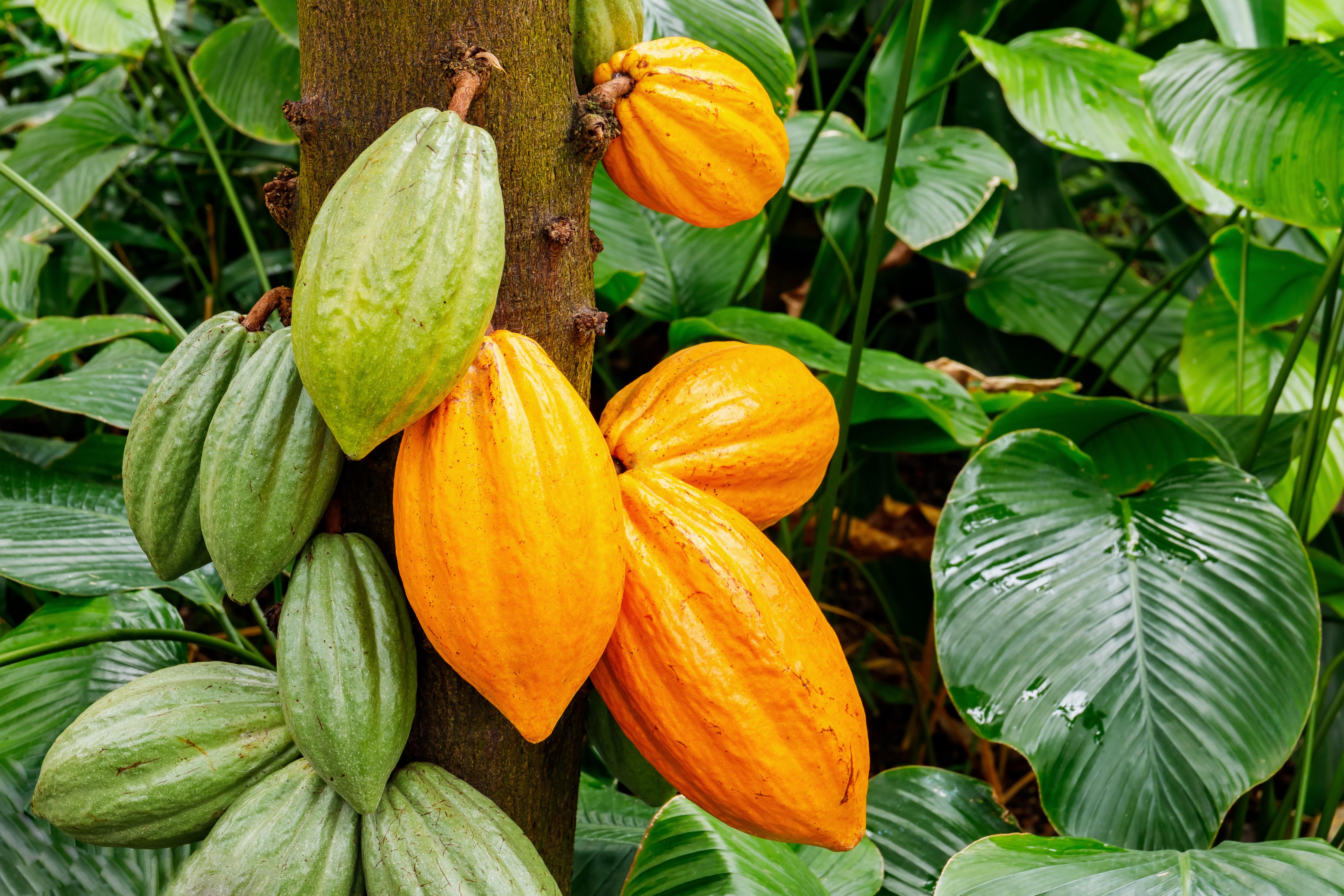 La filière cacao de Martinique continue à se structurer et cherche des financements pour s'équiper