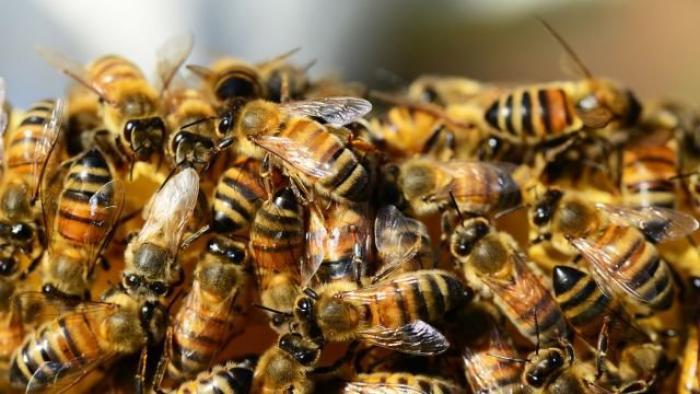 Agressé par un essaim d'abeilles, un homme sérieusement atteint