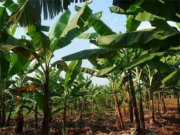 Des ouvriers de la banane sans salaires depuis plusieurs mois
