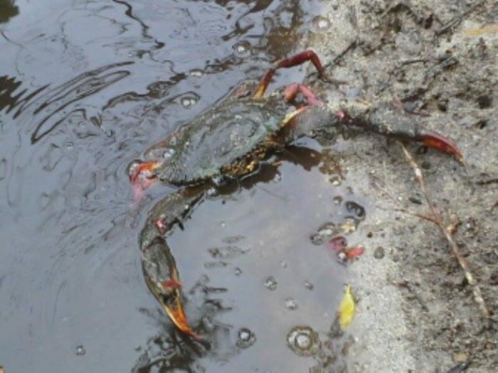 Guadeloupe : comment sont préservées nos ressources en crustacés ?