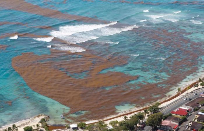 L'archipel menacé par une nouvelle vague de sargasses