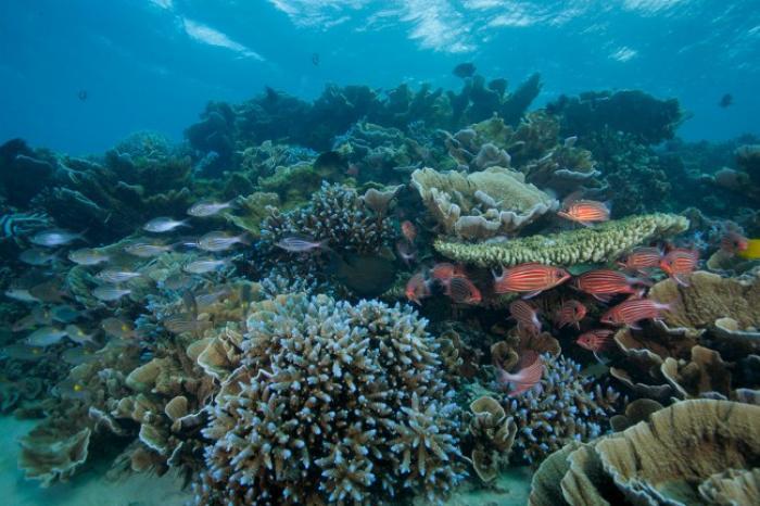 Le corail antillais est en danger