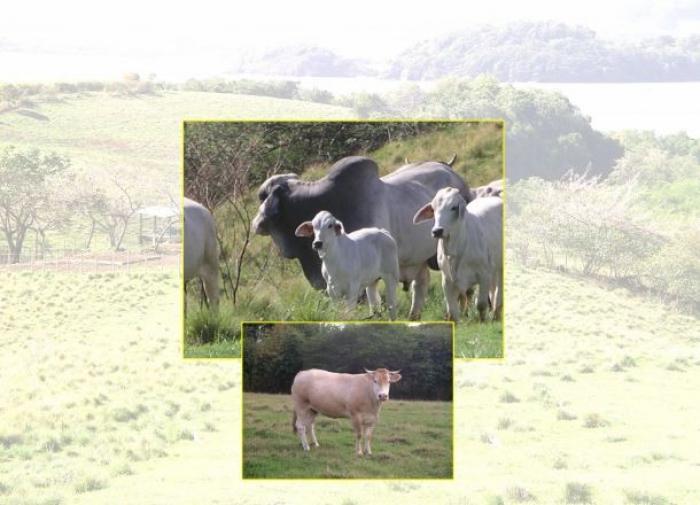 Les éleveurs de Saint - Martin s'intéressent à nos bovins !