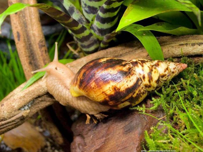 Méningites parasitaires : attention aux achatines