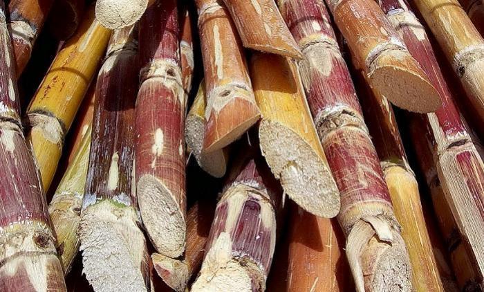 Pénurie de canne à sucre : une SICA pour trouver des solutions