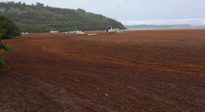 Sainte-Lucie : une entreprise transforme les algues sargasses en engrais