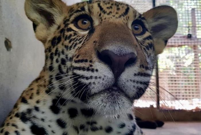 Un jaguar nommé Ti Punch